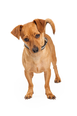 lapdog: A cute little Chihuahua crossbreed dog standing and looking down