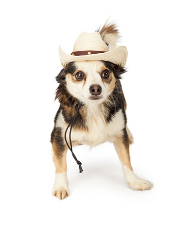 lapdog: A cute little Chihuahua, Papillon and Terrier mixed breed dog wearing a cowboy hat