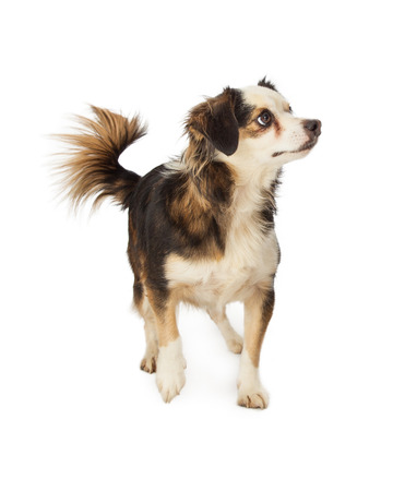 lapdog: A cute little Chihuahua, Papillon and Terrier mixed breed dog