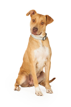 short hair dog: A curious Staffordshire Bull Terrier Mix Breed Dog sitting while waiting for directions from handler. Stock Photo