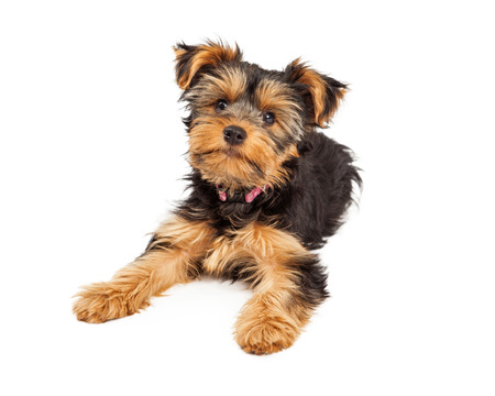 A cute little Teacup Yorkie puppy dog laying down and looking forward