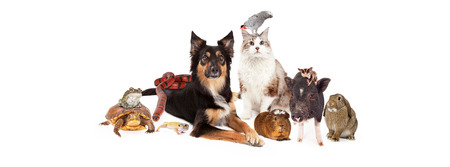 A large group of domestic pets including a dog, cat, bird, guinea pig, pot-bellied pig, sugar glider, bunny, lizard, snake, turtle and frog. Image is sized to fit a social media timeline Stock Photo