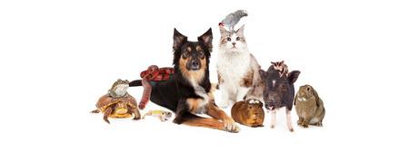 cavie: Un folto gruppo di animali domestici, tra cui un cane, gatto, uccello, cavia, maiale panciuto, zucchero vela, coniglietto, lucertola, serpente, tartaruga e rana. L'immagine � di dimensioni adatte a un supporto temporale sociale