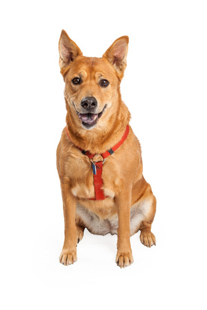 Happy looking Shiba Inu and Carolina Mix Breed Dog sitting while looking at the camera and wearing a red harness.