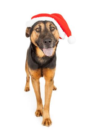 cap hunting dog: A cute young Shepherd cross dog wearing a Santa Claus hat Stock Photo