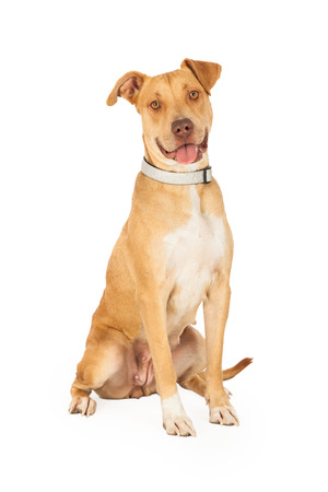 행복 찾고 Staffordshire 불 테리어 혼합 유형 강아지 오픈 입으로 앉아 및 앞으로 찾고.