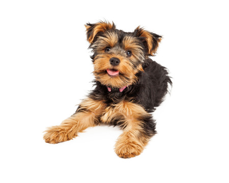 A happy and cute little Teacup Yorkie puppy dog laying
