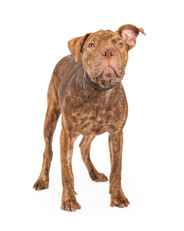 A cute young Shar Pei and Pit Bull puppy dog standing and looking up