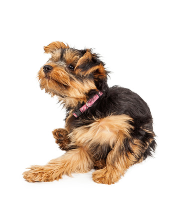medium shot: Teacup Yorkie dog sitting and scratching and itch Stock Photo