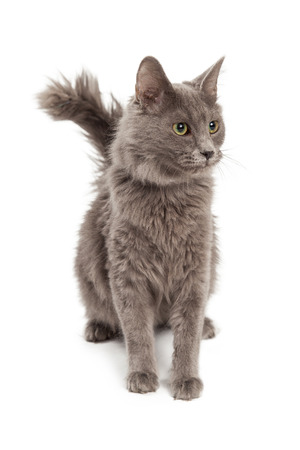 medium body: A pretty young gray color cat sitting and looking to the side