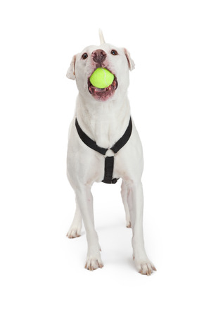 large ball: A happy large white Dojo Argentino breed dog wearing a harness with a yellow tennis ball in his mouth