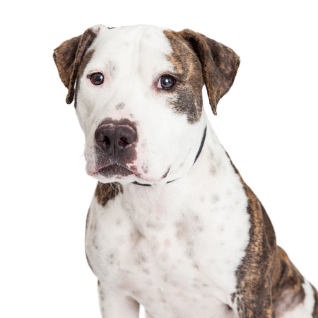 Closeup of an American Staffordshire Terrier Mixed Breed Dog looking into the camera.