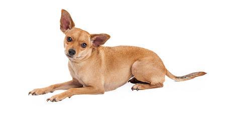 laying forward: An attentive Chihuahua Mix Breed Dog laying while looking forward. Stock Photo