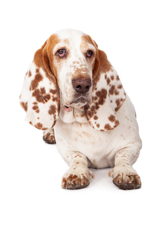 laying forward: A pretty Basset Hound dog with spotted ears laying and looking forward