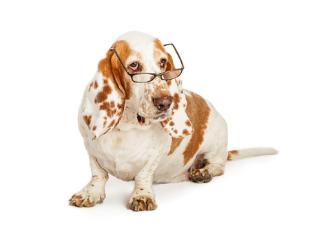 A pretty Basset Hound dog with spotted ears wearing eyeglasses while sitting down and looking to the side