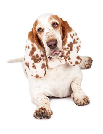 Een mooie Basset Hound dog met gevlekte oren houdende met tong uitsteekt