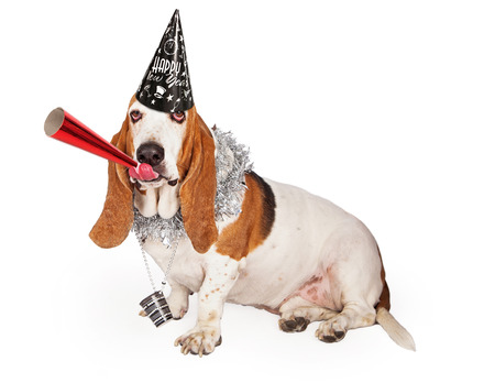 A funny Basset Hound dog wearing a Happy New Years hat and party necklace while blowing on a red noisemaker Stock Photo