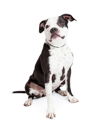 A pretty and obedient black and white Pit Bull breed dog sitting down and looking to the side