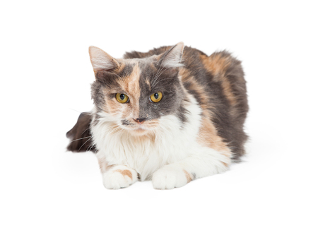 laying forward: A beautiful Calico Domestic Longhair Cat laying while looking into the camera.