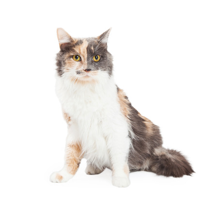 calico cat: A beautiful Calico Domestic Longhair Cat sitting with body off to the side while looking into the camera. Stock Photo