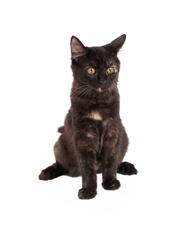 four month: An adorable Black and Tan Domestic Longhair four month old kitten sitting. Stock Photo
