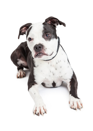 black and white pit bull: A beautiful black and white Pit Bull breed dog laying down Stock Photo