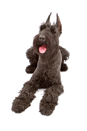 black giant: A big black giant Schnauzer dog laying with mouth open and a happy expression Stock Photo