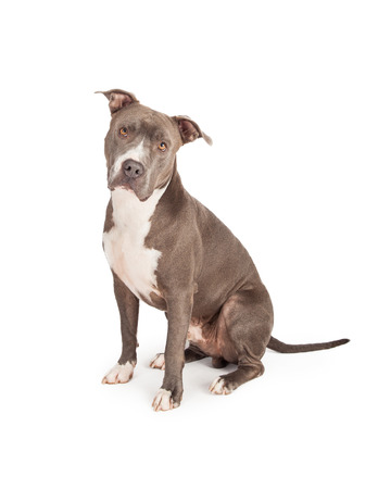 pit: A beautiful blue coated American Staffordshire Terrier dog sitting down and looking straight into the camera
