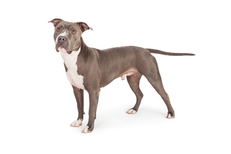 medium length: A profile view of a beautiful blue coated American Staffordshire Terrier dog standing