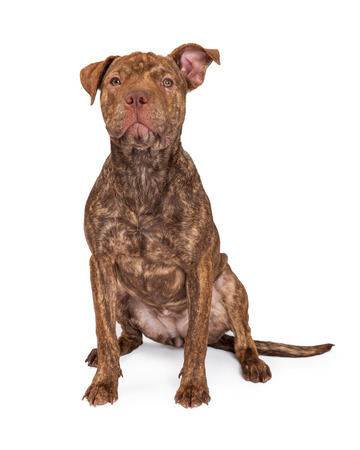 bull dog: A cute brindle color Pit Bull and Shar Pei dog sitting with an attentive expression