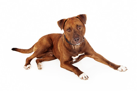 laying forward: A reddish brown color Pit Bull mixed breed dog laying down and looking forward into the camera Stock Photo