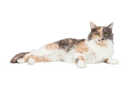 laying forward: An attentive Calico Domestic Longhair Cat laying with body off to the side and looking forward.