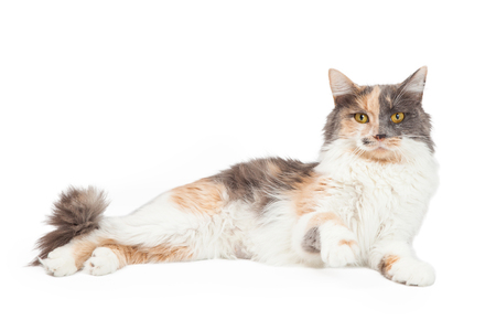 An active Calico Domestic Longhair Cat raises its paw in front of its body. Banco de Imagens