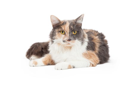 calico cat: A beautiful Calico Domestic Longhair Cat laying at an angle while looking forward. Stock Photo