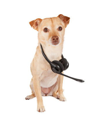lapdog: A cute Chihuahua and terrier crossbreed dog with a telephone headset