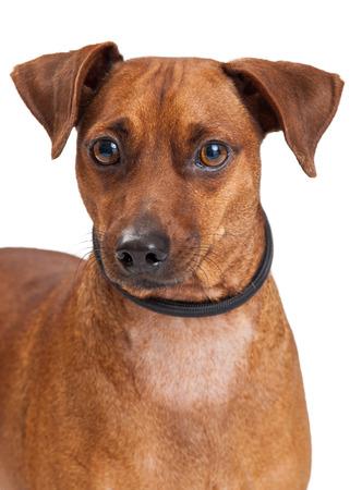 miniature breed: Un primer de una miniatura de la raza del perro del Pinscher Mix. Foto de archivo