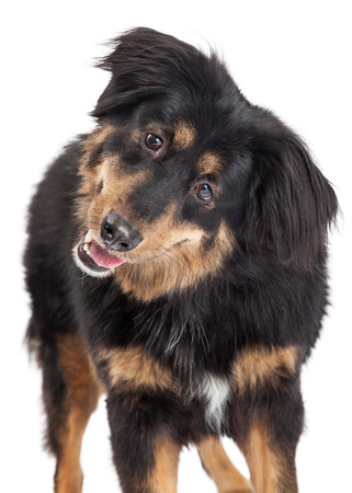 looking directly at camera: A closeup of an English Shepherd Mixed Breed Dog looking directly into the camera.
