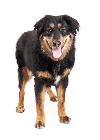 looking directly at camera: A happy looking English Shepherd Mixed Breed Dog standing looking directly into the camera.  Mouth is open.