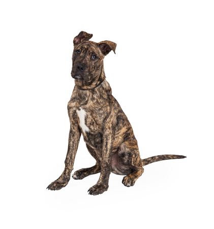 great dane: A cute Great Dane And Boxer Mixed Breed puppy dog sitting while looking forward.