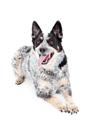 A cute Australian Cattle Dog laying down with tongue out and a happy expression Stock Photo