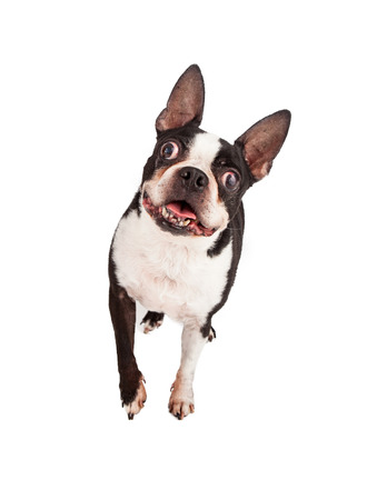 boston terrier: A happy Boston Terrier dog looking and walking forward Stock Photo