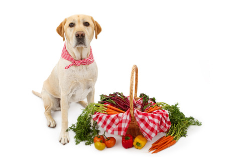 checkered scarf: A cute Yellow Labrador Retriever dog wearing a red and white checkered scarf sitting next to a basket full of fresh vegetables.