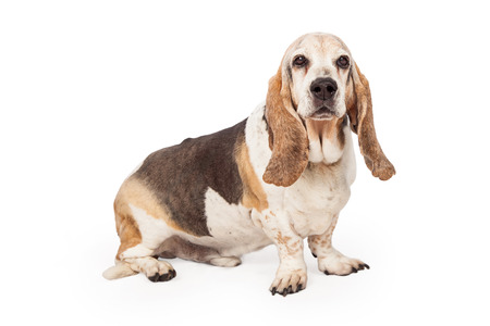side keys: A side view of a Basset Hound sitting looking forward and into the camera Stock Photo