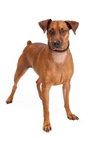 miniature breed: Una miniatura de la raza del perro del Pinscher Mix de pie mientras mira a la c�mara.