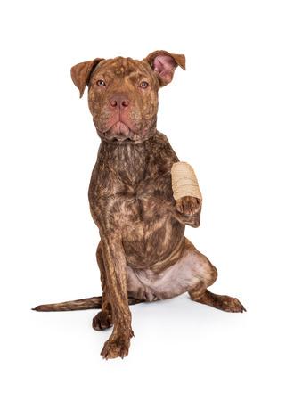 short hair dog: A cute brindle color Pit Bull and Shar Pei dog