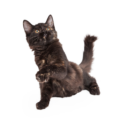 longhair: A playful Black and Tan Domestic Longhair four month old kitten batting paw into the air.