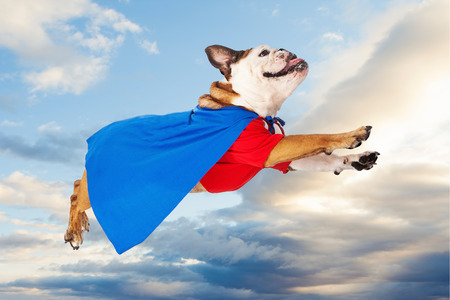 super hero: A funny Bulldog dressed as a super hero in a red shirt and blue cape flying through the sky