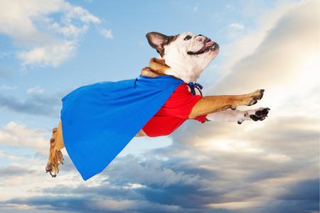 bulldog: Un dogo divertido vestido como un superh�roe en una camisa roja y azul capa volando por el cielo