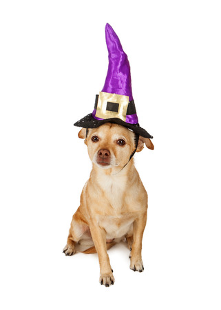 lapdog: A cute little Chihuahua mixed breed dog sitting and wearing a witch hat Stock Photo