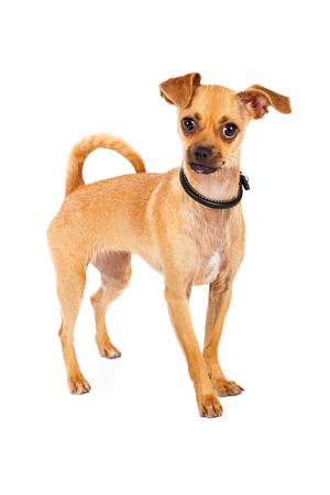 Chihuahua dog with big brown eyes stands facing the camera.  She is curious of her surroundings Stock Photo